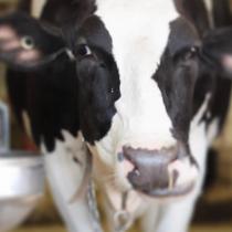 Vaca Cantora